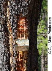 Pine resin container, Greece - Collecting resin from a pine...