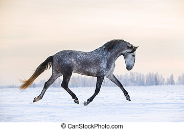 Andalusian horse in winter - Andalusian grey horse in winter...
