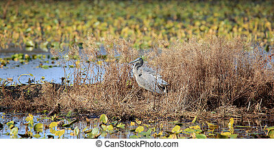 Great blue heron standing on a weedy island in a marsh