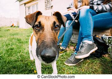 Jack Russel Terrier Dog Standing Near Woman Feet In Green Grass,
