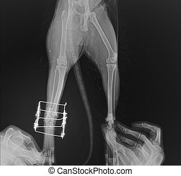 Postsurgical x-ray image shows an osteosynthesis of  leg cat's through a gamma nail.