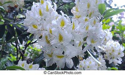 White rhododendron flower in the garden. - White...