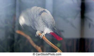 Funny African Grey Parrot - Beautiful African Grey Parrot...