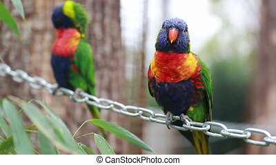 Rainbow Lorikeet Parrot Perched on a Chain - Colorful...