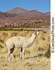 Bolivian Llama - Bolivia, Potosi Departmant, Nor Lipez...
