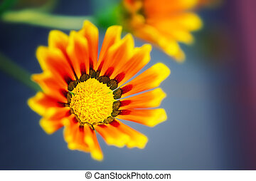 flores, fim,  Gazania, cima