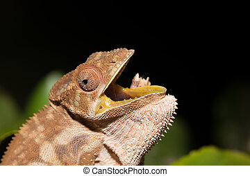 panther chameleon (Furcifer pardalis) Nocturnal photo of...