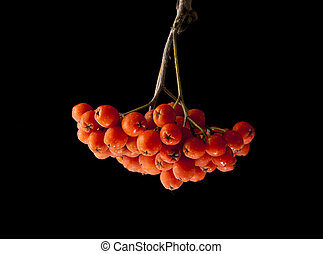 rowan berries isolated on a black background