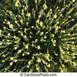 Flowering plants of helichrysum arenarium immortelle - A lot...