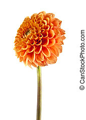 flowers - orange flower isolated on white background