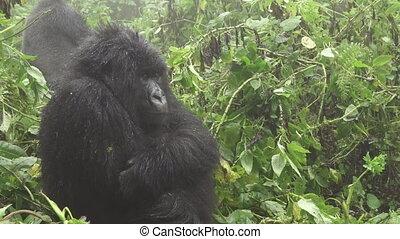 Zooming into mountain gorilla face in the forest - Side view...