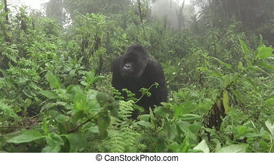 Silverback mountain gorilla approaches to tourists, zooming...