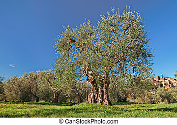 old olive tree in Seggiano, Grosseto, Tuscany, Italy -...