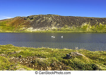 Icelandic whooper swan family at lake in evening, Iceland, summer
