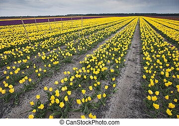 Row of colors at tulip farm in Gironde, France