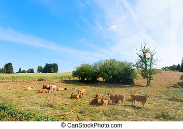 Limousin cows in landscape in France