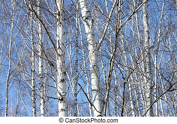 Beautiful landscape with white birches against blue sky....