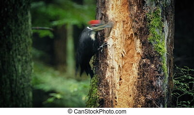 Woodpecker Pecking At Tree In The Forest - Woodpecker pecks...