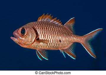 Soldierfish displaying spines - Blotcheye soldierfish...