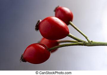 Rose Hips on Branch Close Up. Dog Roses on Dark Background.