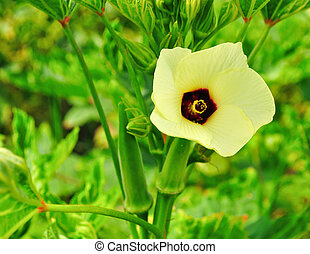 Okra flower - asian; backyard; beautiful; blossom; bud;...