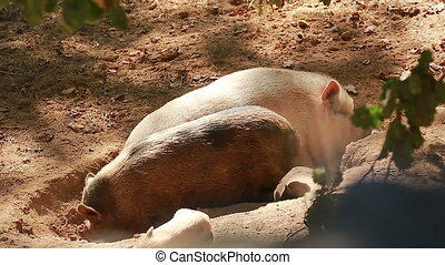 Family of Pigs Resting in the Sun