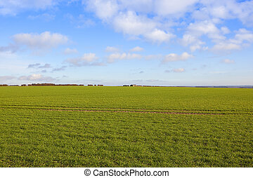 extensive wheat crops in a yorkshire wolds landscape with a...