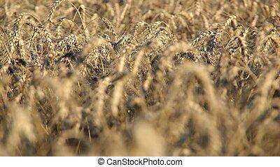Wheat ears on the field - Field full of wheat ears in the...
