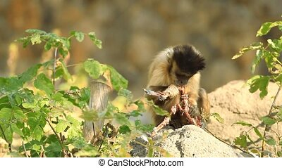 Capuchin monkey eating on the stone