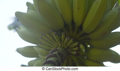 Banana tree with large harvest of green bananas over white...