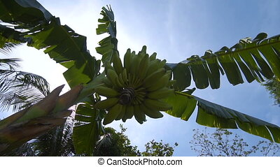 Banana tree with large harvest of green bananas surrounded...