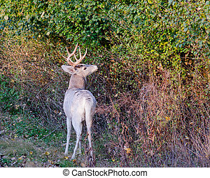 Piebald Whitetail Deer Buck standing in a thicket during the...