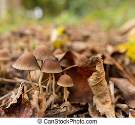 Brown wild mushrooms among fallen leaves in late autumn