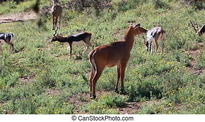 Female Blackbuck (Antilope Cervicapra). A Herd of Blackbuck...