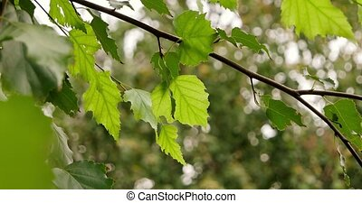 Branch of russian birch with green leaves moving in the wind.