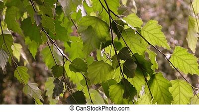 Birch leaves on the branch moving in the wind