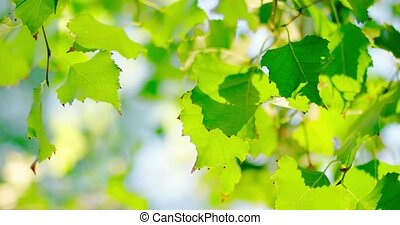 Set of fresh green birch tree leaves backlit shot.
