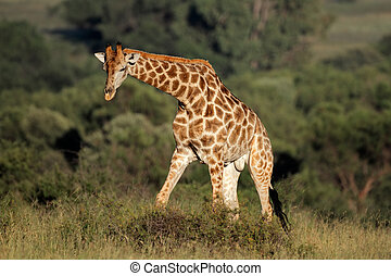Male giraffe - Big male giraffe Giraffa camelopardalis,...