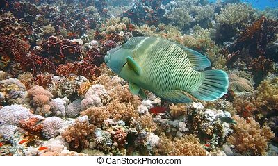 Napoleon Fish on Coral Reef, underwater scene