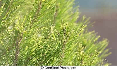 A pine fronds that are moved. - A pine fronds that are moved...