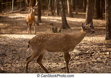 wild deer buck in the forest - A portrait of a wild deer...