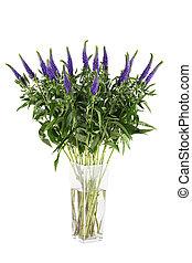 Veronica, flores, isolado