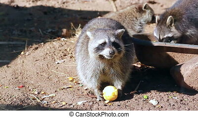 Raccoon Eating Apple - Funny Raccoon (Procyon Lotor) Eating...