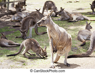 Tasmanian Kangaroo Family - The portrait of a kangaroo among...