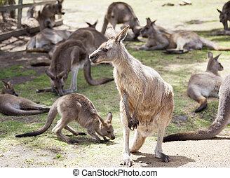 Tasmanian Kangaroo Family - The portrait of a kangaroo among...