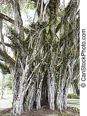 Suva Town Tree - The impressive tropical tree on a street of...