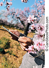 man using a tablet in a grove of almond trees in full bloom...