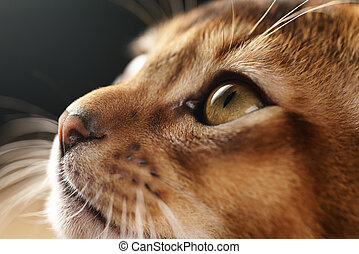 closeup portrait of abyssinian kitten with focus on the eye,...