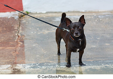 Small dog breed of dark color miniature.