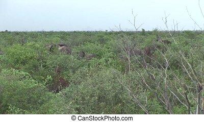 Wild Elephant (Elephantidae) in African Botswana savannah -...
